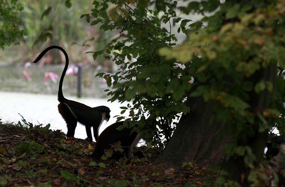 Desetičlenná skupina vzácných kočkodanů Dianiných v Zoo Ostrava je největší chovnou skupinou tohoto druhu na světě.