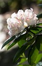 Rozkvetlý rododendron
