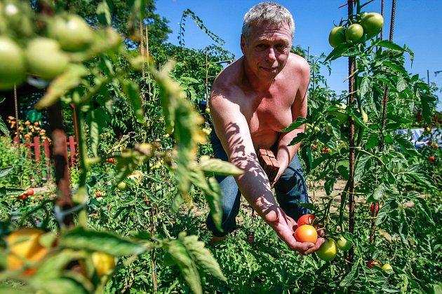 Rajčata se letos urodila pěkná, ukazuje na své zahrádce René Čeladinov.