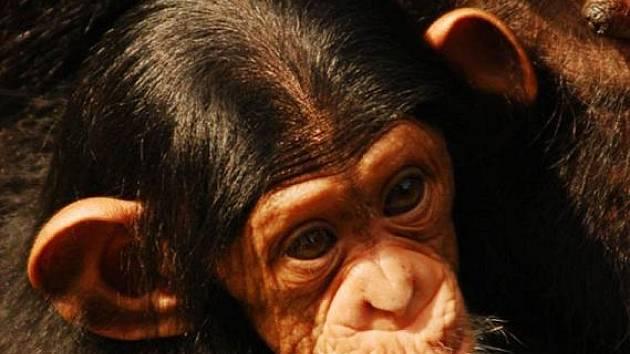 Malá šimpanzice Beira a její maminka Hope v ostravské zoo