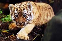 Mládě tygra ussurijského v ostravské zoo