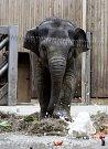 Melouny, ananas, banány, červenou papriku, ledový salát, hroznové víno, mrkev či vařenou rýži dostala v sobotu v ostravské zoologické zahradě v dortu ke svým druhým narozeninám sloní samička Rashmi.