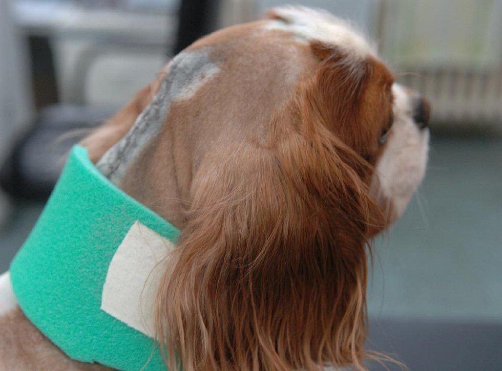 Pacient pes Kazimír po náročné operaci