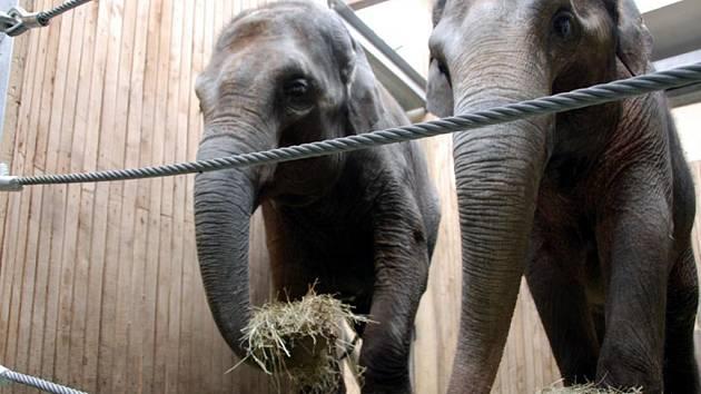 Slonice Vishesh a její matka Johti v ostravské zoo