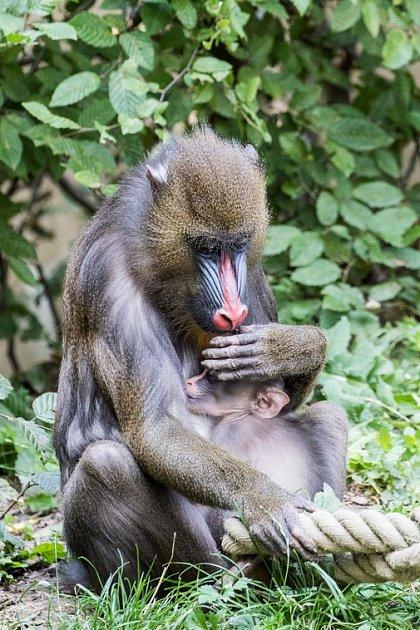 Skupina mandrilů vostravské zoologické zahradě se úspěšně rozrůstá.