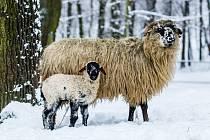 Ovce domácí - valaška