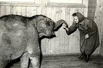Na snímku je první slon ostravské zoo Pepík.