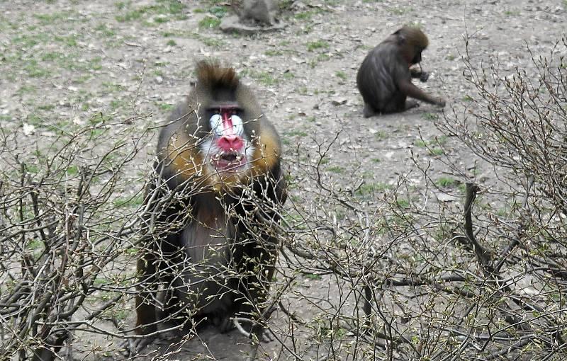 První den v ostravské zoologické zahradě v Michálkovicích po rozvolnění vládních opatření proti čínské nákaze je docela rušný.