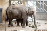 Mládě slona indického Chandru, které se narodilo  8. července 2017 v ostravské zoo.