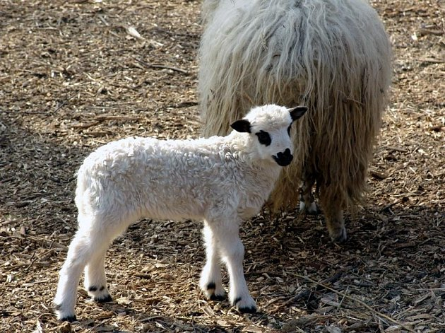 Beránek ovce valašky