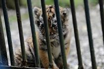 V sobotu v odpoledních hodinách v 13 hodin proběhl v ostravské zoo, před pavilonem šelem křest tří tygřích mláďat, která se zde narodila tygřici Maje před měsícem a půl.