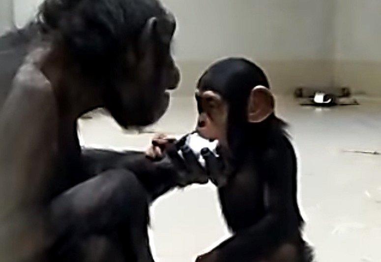 Šimpanzům v Zoo Ostrava chutná sníh. Únor 2021.