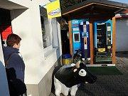 Pro čerstvé mléko si jezdí do Heřmanic i zákazníci z druhého konce Ostravy.