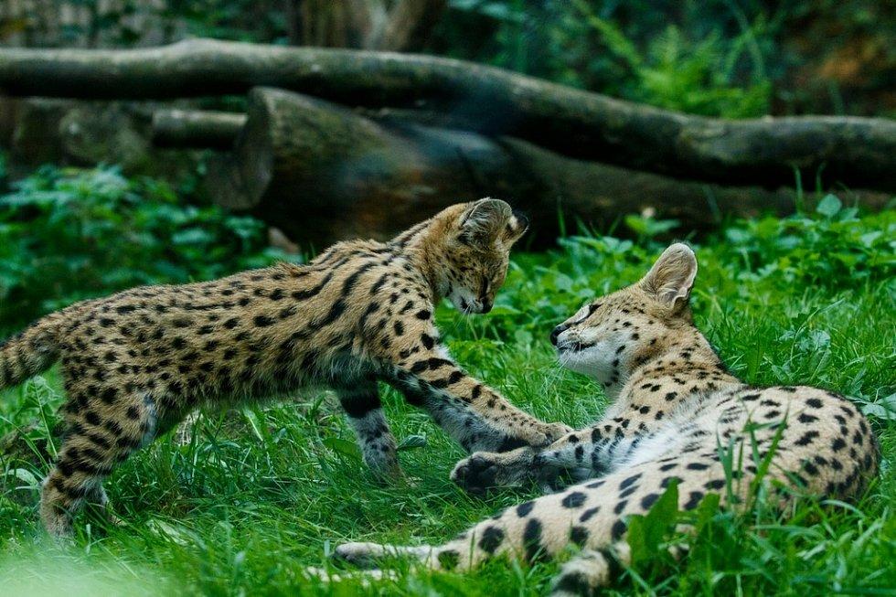 Samička této malé kočkovité šelmy se narodila 24. dubna, ale první týdny pobývalo se svou matkou ve vnitřních prostorech, které nejsou veřejnosti přístupné.