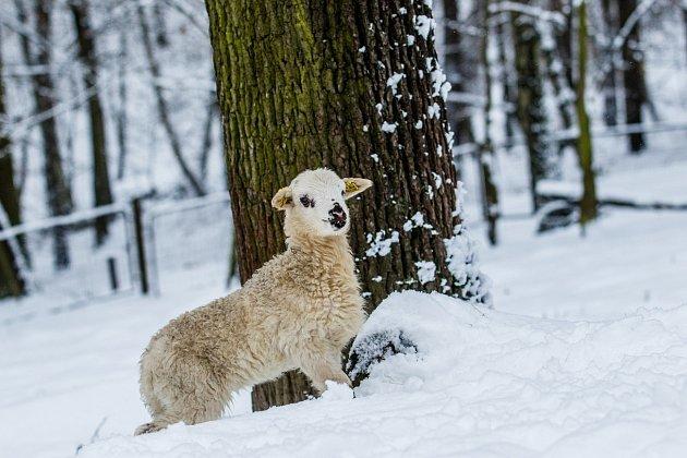 Mládě ovce domácí - valašky