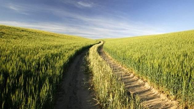 Kukuřičné pole. Ilustrační foto.