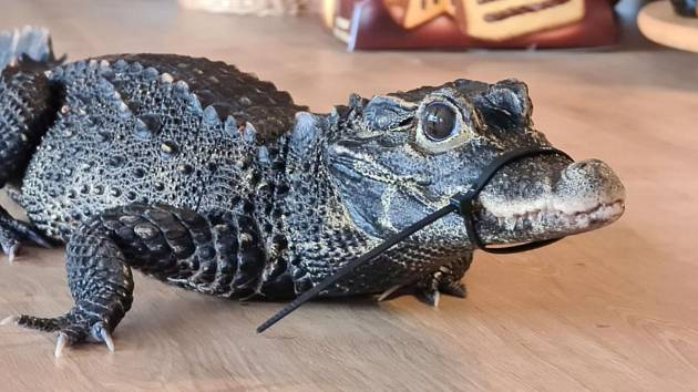 Mireček, pětiletý krokodýl čelnatý, z výběhu na dvorku zmizel neznámo kam.