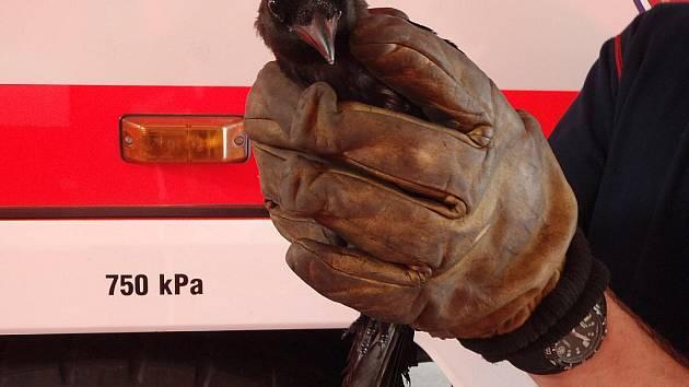 Hasiči v Moravskoslezském kraji v sobotu zachraňovali straku zamotanou do silonu ve větvích stromu u aquaparku Olešná a ještě o křížence německého ovčáka, který skončil v 15 metrů hluboké studni v Holasovicích.
