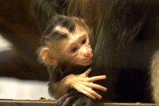 Mládě se v prvních dnech drží blízko u matky.