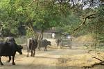 Z indických rezervací. Soužití lidí a zvířat.