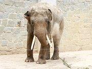Nový sloní samec slona indického v ostravské ZOO.