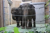 Dvě slonice, které dosud žily v Belfastu, se pomalu zabydlují v ostravské zoo.