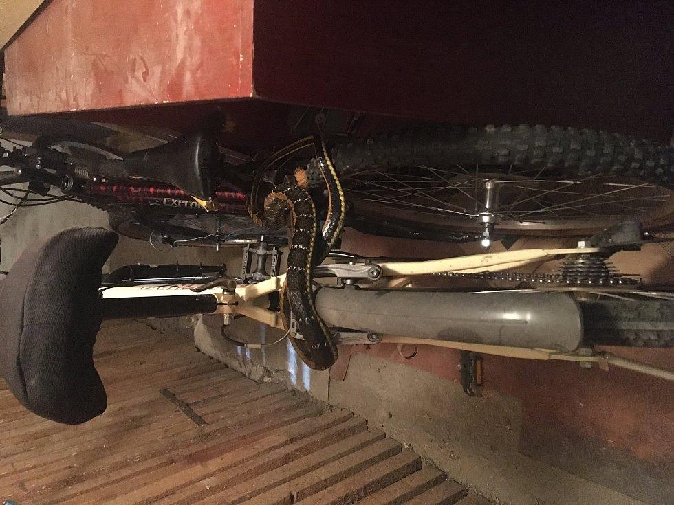 Hasiči zachraňovali krajtu, která se zapletla mezi bicykly.