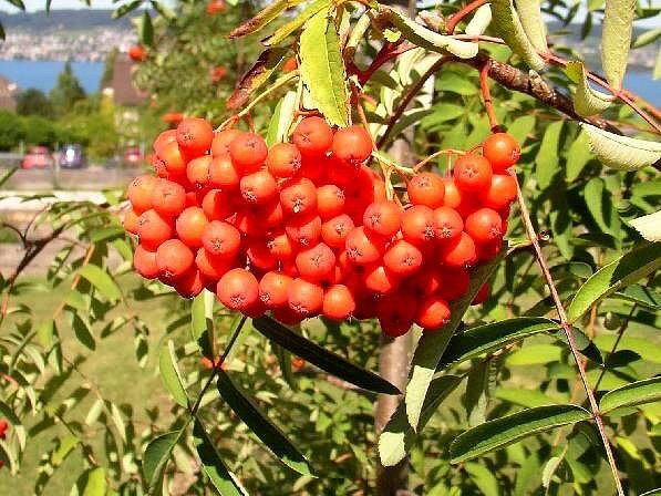 Jeřáb moravský sladkoplodý