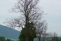 Ještě začátkem června lemovaly silnice na Šumpersku a Jesenicku holé stromy. Snímek pořízen 3. června u Štítů.