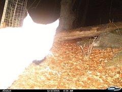 Snímek rysa, jak jej v dubnu v Keprnické hornatině zachytila fotopast. Zvíře prošlo v bezprostřední blízkosti před kamerou, proto je přesvíceno. Že jde o rysa, je však patrné z charakteristické siluety.