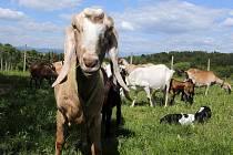 Kozí farma v Pobučí  u Zábřehu