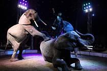 V novém dvouhodinovém programu pod názvem Historický fenomén se představí ojedinělá drezúra tří afrických slonů. Cirkus Humberto je jediný v Česku, který má toto originální číslo