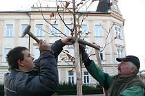 Někdejší stříbrný smrk, který z náměstí v Zábřehu zmizel letos v březnu, vystřídal ve středu 27. října buk lesní