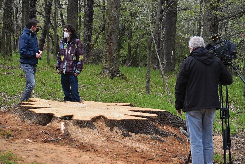 Pokácený mohutný dub u Krnova