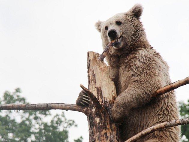 Medvěd na ilustračním snímku.