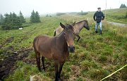 Na Praděd se po více jak 70-ti letech vrací pastva skotu, letos přibyli i nenároční huculští koně.
