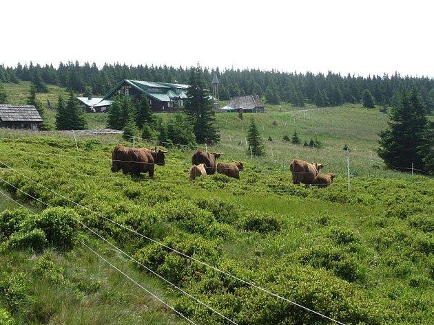 V letošním roce se do vrcholových partií Jeseníků po desítkách let vrátil dobytek.