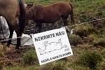 Huculští koně na Pradědu