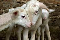 Jehňata z ovčí farmy v Brníčku.