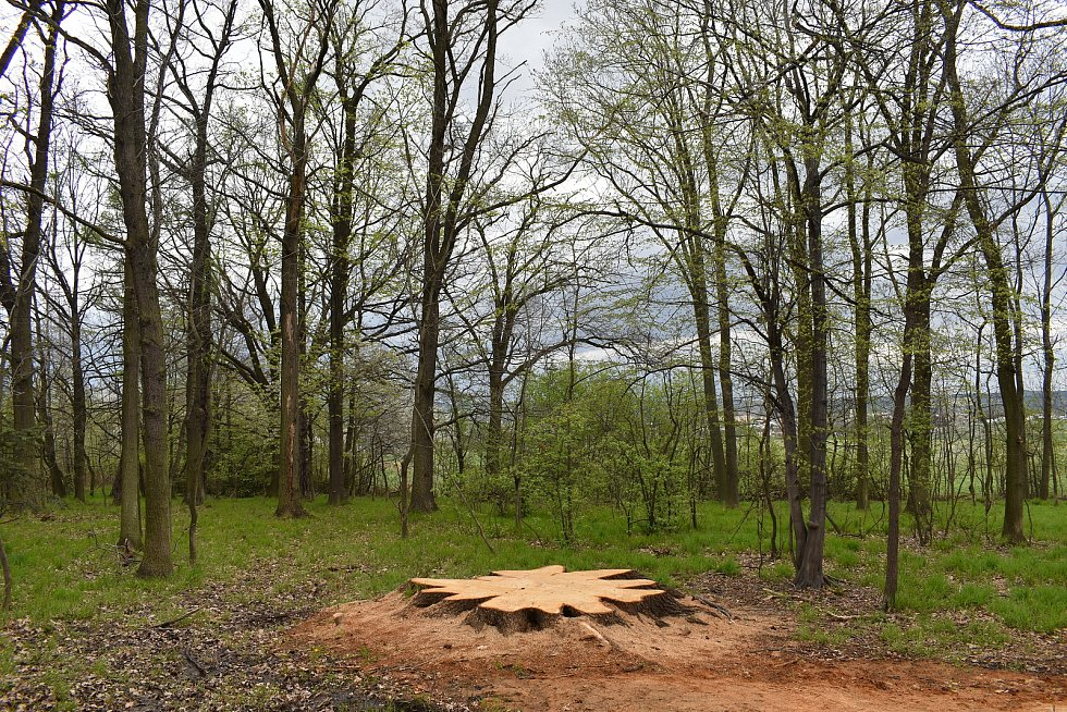 Pařez mohutného dubu v remízku u Krnova.