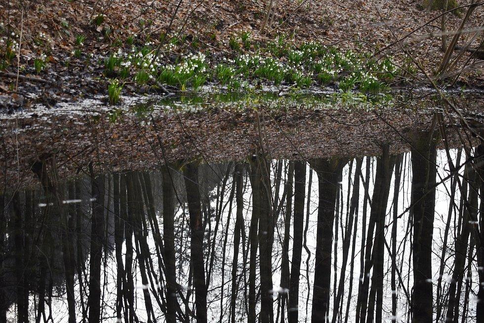 Bledule mezi Hoštejnem a Drozdovskou Pilou. 27. března 2021