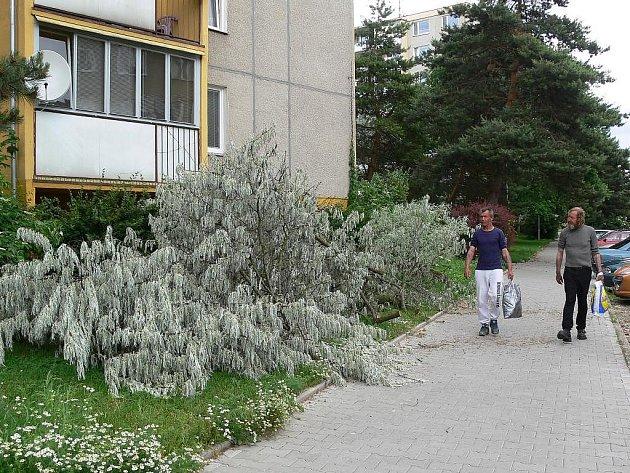 Spadlý strom v Revoluční ulici v Šumperku