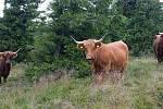 Pastva se skotským náhorním skotem u Švýcárny.