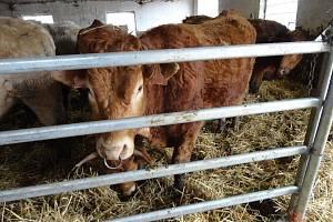 Zanedbaný skot na farmě obviněné farmářky.