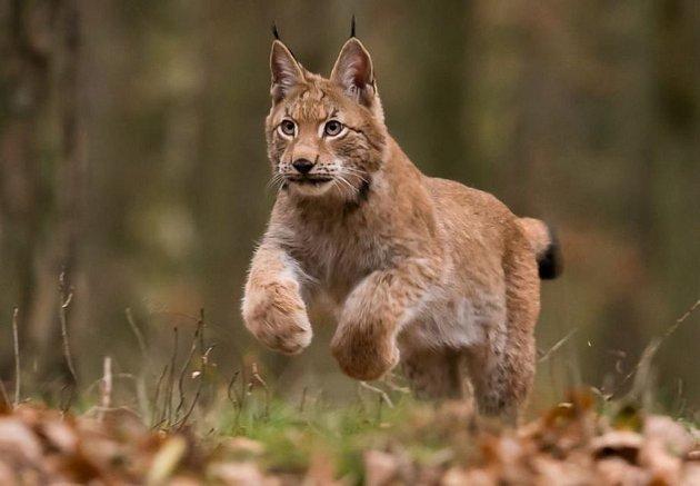 Na Šumpersku a Jesenicku se uskuteční série setkání s rysem. Jejich hlavním aktérem bude osmiměsíční kotě Blondýn (na snímku).