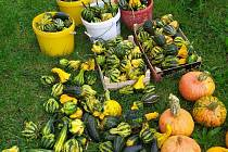 Podzimní úroda na zahradě v Lošticích