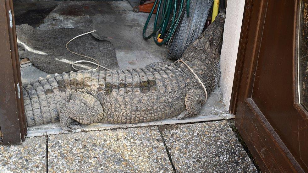 Krokodýl Dandouš v dočasném útočišti v garáži Beštových v Klopině.