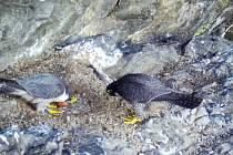 Sokolí pár při střídání na hnízdě.