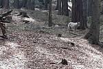 Vlk natočený u Bílé Vody na Jesenicku