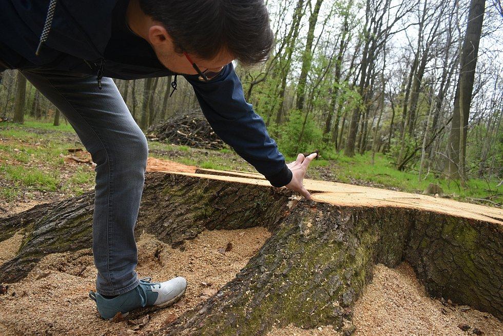 Stačilo přepočítat letokruhy na pařezu, a je jasno. Dub byl starý kolem 120 let. Ještě je potřeba z indicií vyčíst zdravotní stav a skutečnou hodnotu pokáceného stromu.